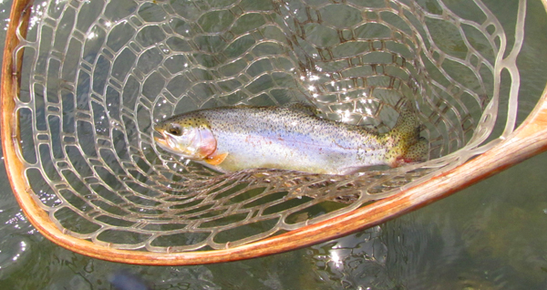 Chunky tailwater Rainbow In Net