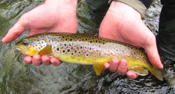 Nice Brown Trout With Haystack