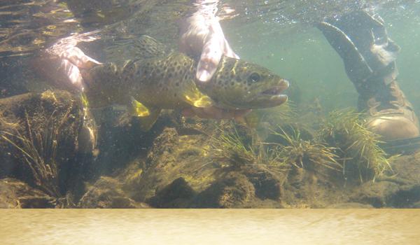 Underwater-brown-trout