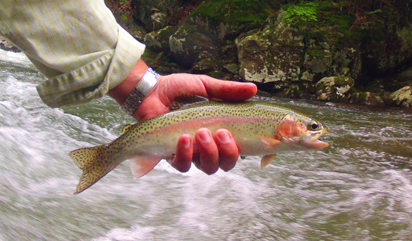 Solid Smoky Mountain rainbow trout