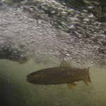 A wild Smoky Mountain brown trout below a plunge