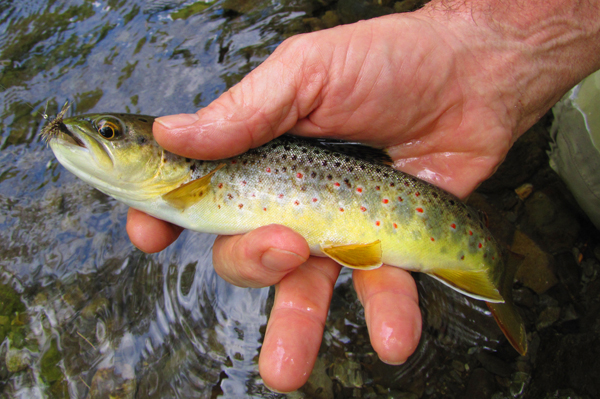This Little River brown trout ate a Haystack