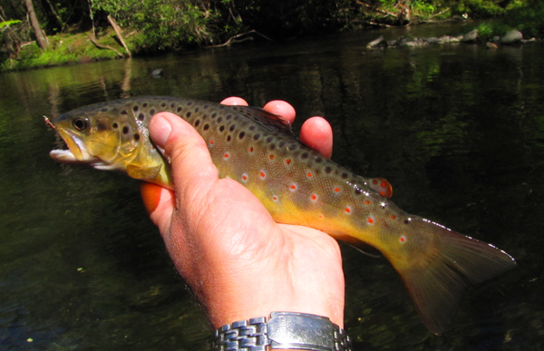 Crusher Pool Brown Trout