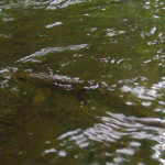 A fleeting glimpse of a Smoky Mountain brown trout rising to the surface