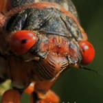 The Secret Life of Cicadas