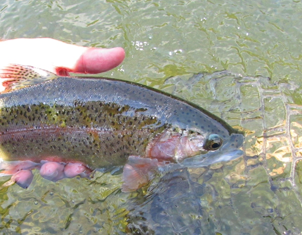 Tailwater Rainbow Trout