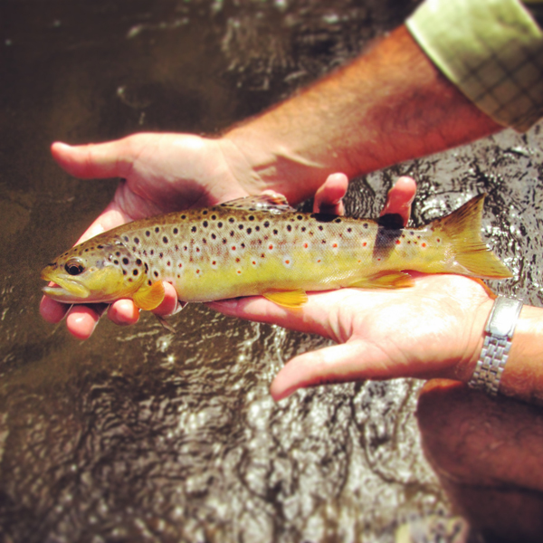 This brown trout was caught on tight lined stonefly pattern