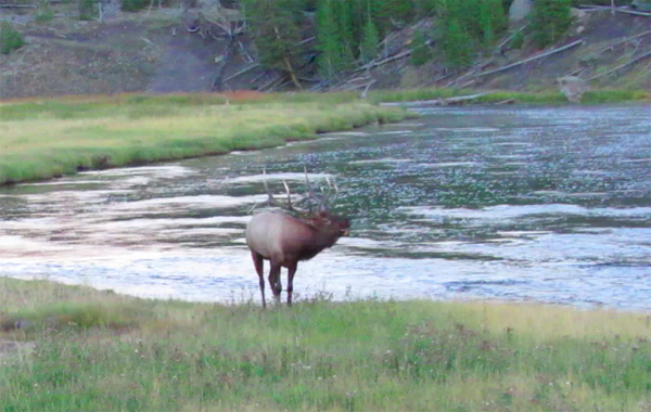 Bugling Elk on the Madison River
