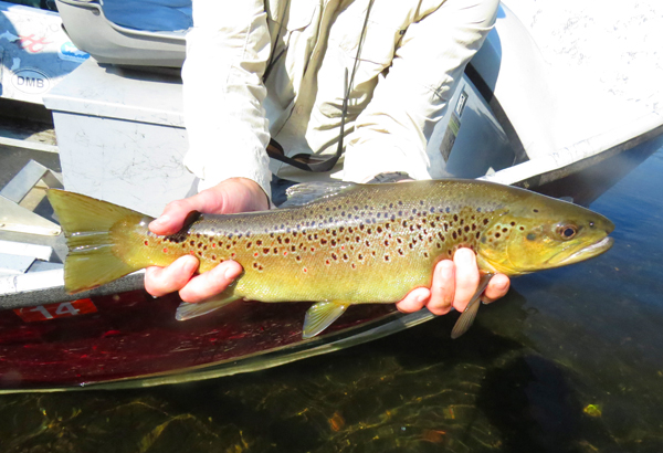 Clinch Brown Trout