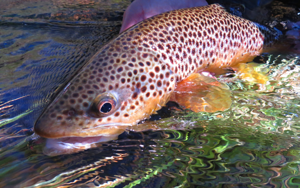 Gibbon Brown Trout Face
