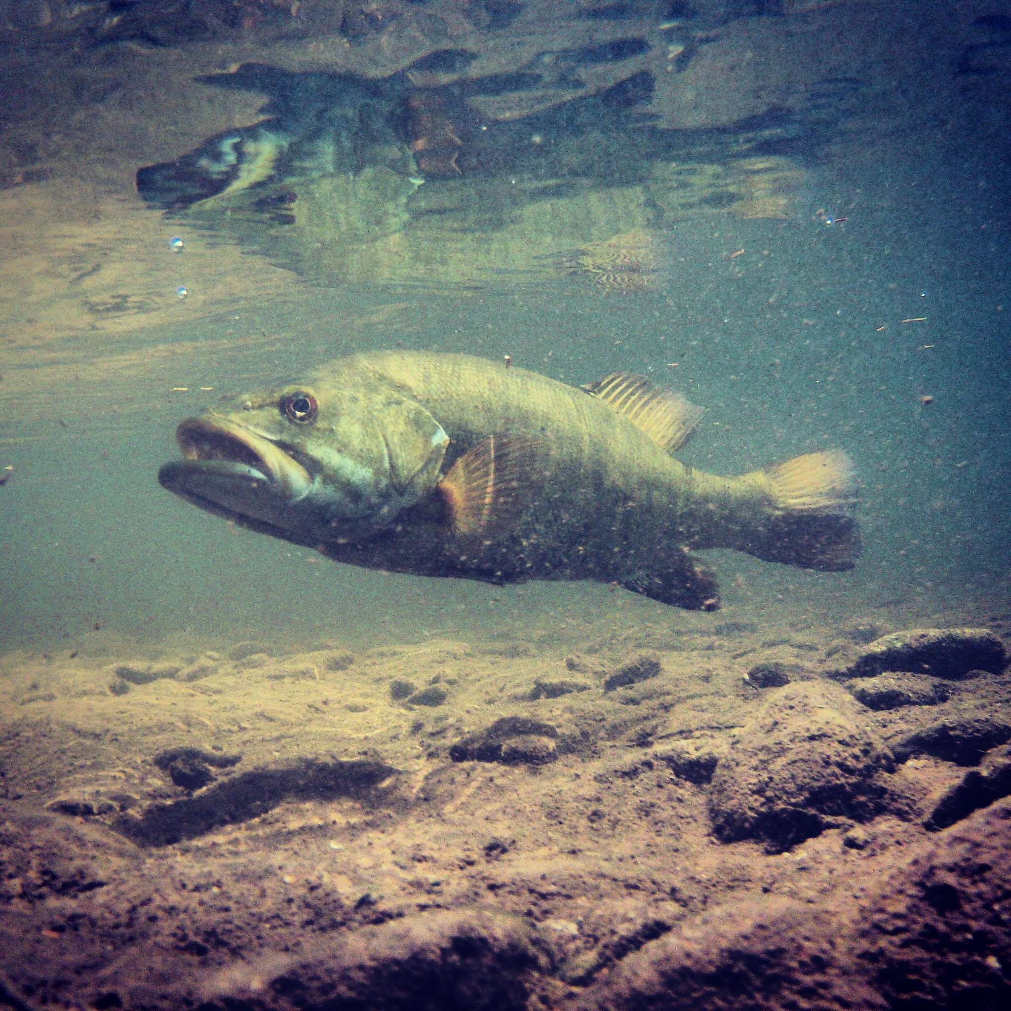 Underwater Smallmouth Bass