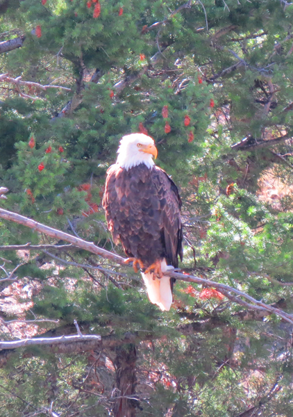 Yellowstone Eagle