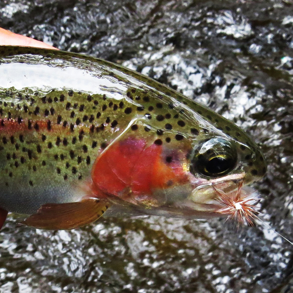 Bright Pink Smoky Mountain Rainbow Trout