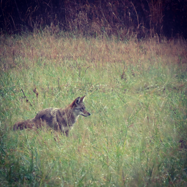 A coyote hunts field mice in Cades Cove