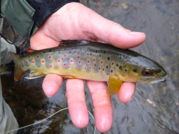 This brown ate the dry fly