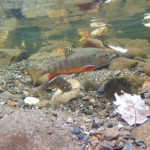Video Clip: Southern Salvelinus – Brook Trout Below the Mason Dixon