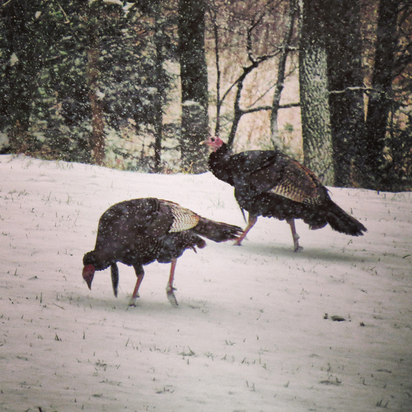 Turkeys In The Snow