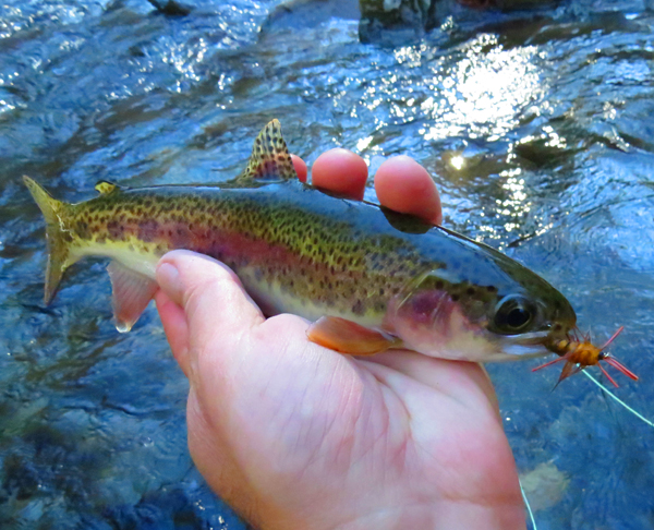 Rainbow Trout With Rubber LegTellico Nymph