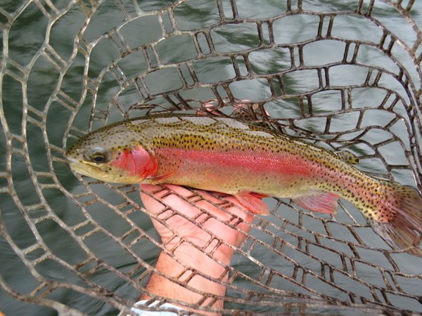 A solid winter rainbow trout on the Hiwassee