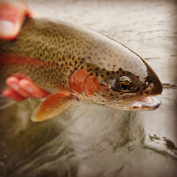 Rainbow Trout Face Tight Focus