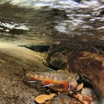 Under water brook trout