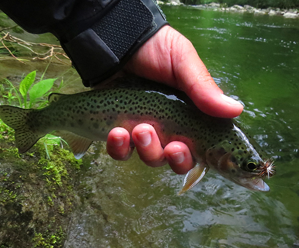 Plenty of fish like this taking dry flies in the Smokies right now