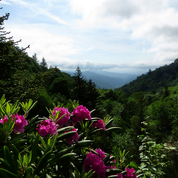 Catawba Rhododendron View