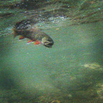 Underwater brook trout