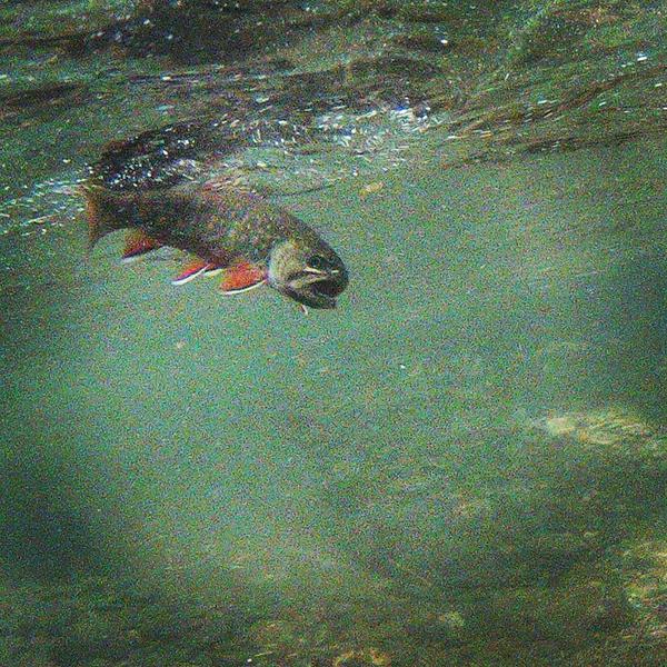 Underwater brook trout