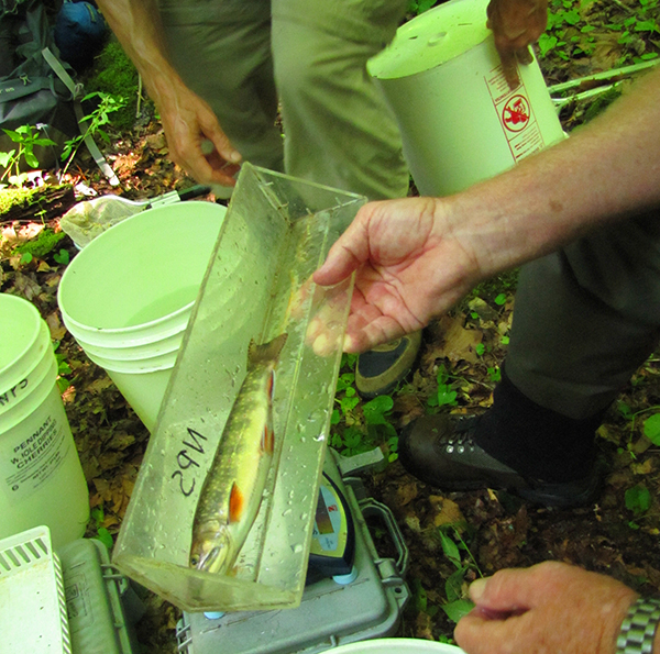 Measuring Lynn Camp Brook Trout