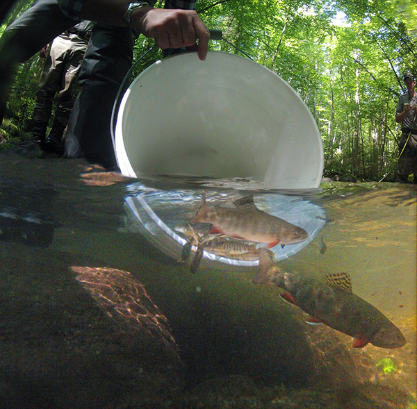 All the brook trout were released back into Lynn Camp Prong after they were all counted, measured, and weighed.