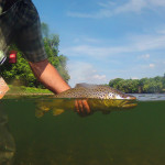 "A 20"" brown trout heads back to the river after falling for a dry fly"