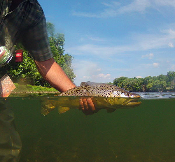 """A 20"""" brown trout heads back to the river after falling for a dry fly"""