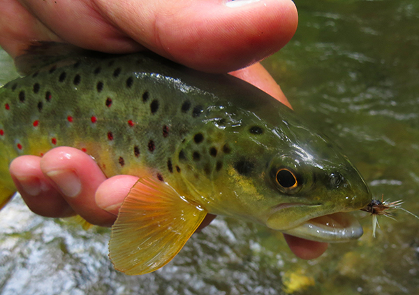 This nice brown trout was one of many fish to eat a Parachute Adams dry fly this week cast with a Tenkara rod