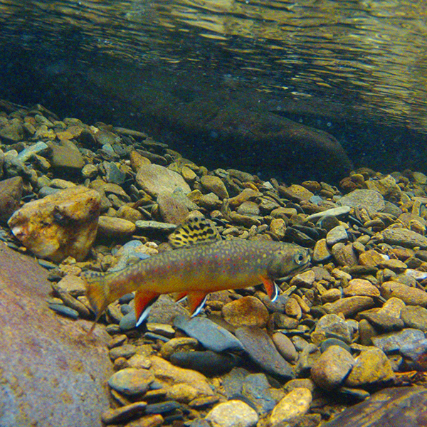 A brook trout released by Kevin Caiaccio of Atlanta