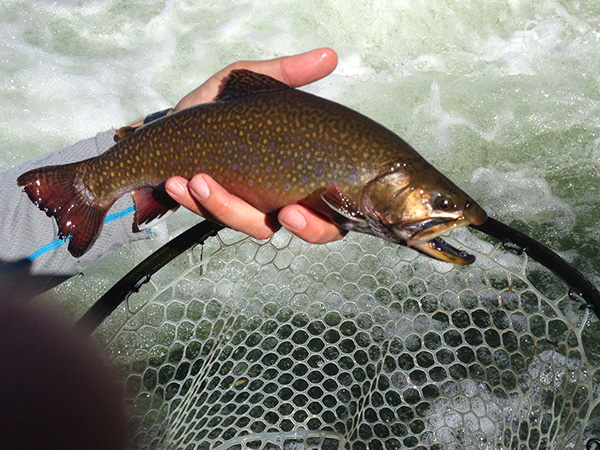 14-inch-Brook-Trout