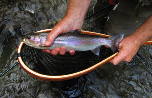 One of a number of very nice trout caught on Hazel Creek  last weekend