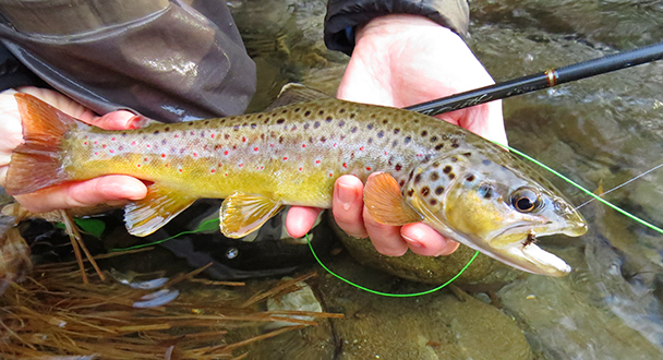 LittleRiverBrownTrout1.15