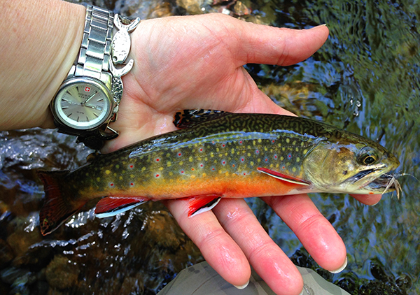 Brook Trout In Hand