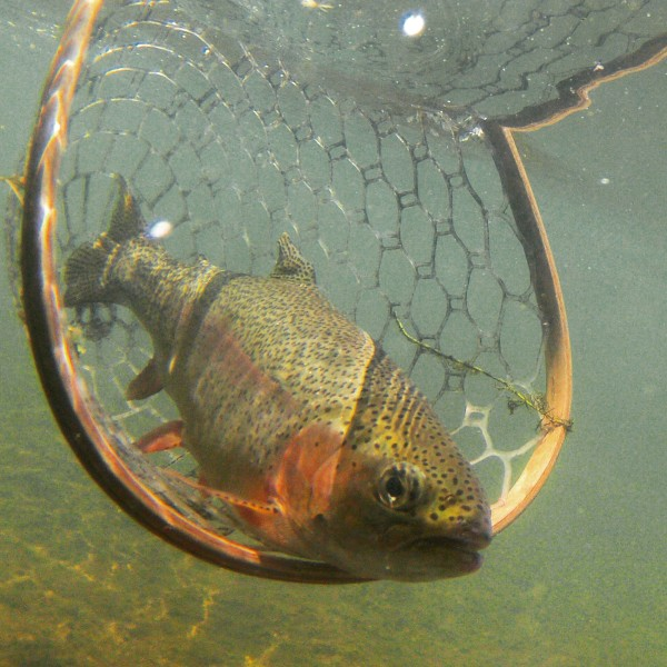 Tailwater Rainbow Release, Underwater