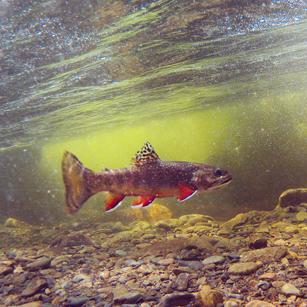 A brilliant Smoky Mountain brook trout in its element