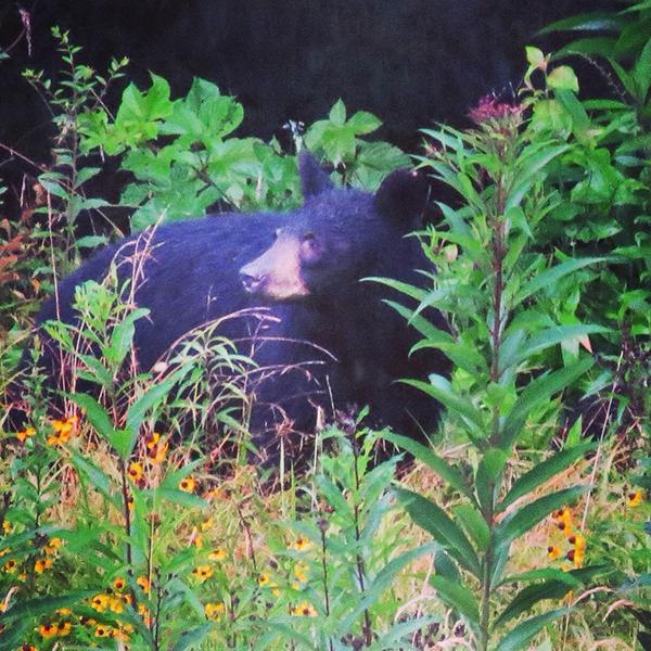 Cataloochee Bear