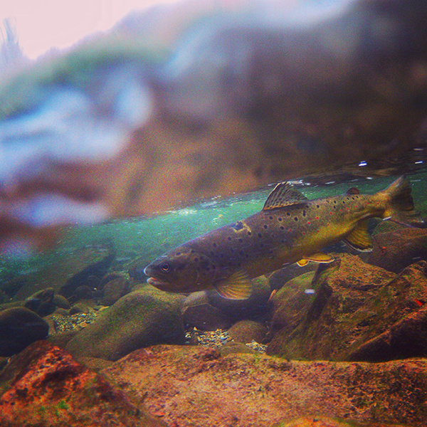 Underwater Brown Trout and Waterline