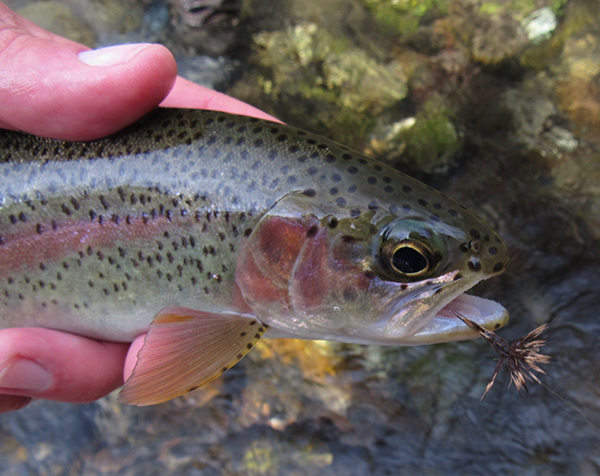 A solid wild Smoky Mountain rainbow trout fooled by a Haystack