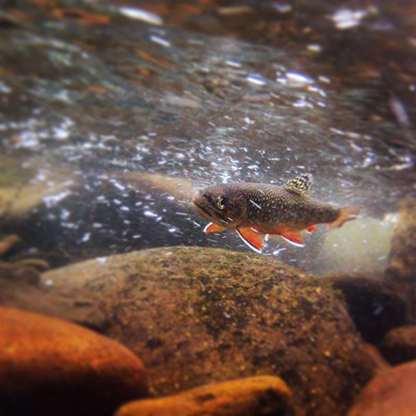 The brook trout have been happy!