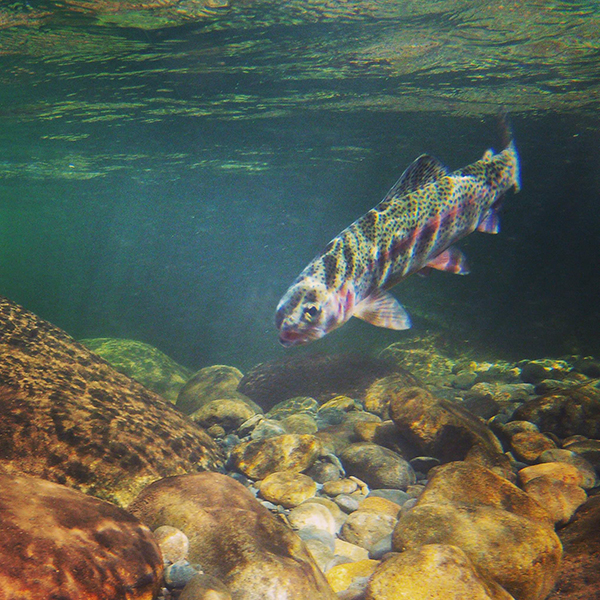 A solid rainbow trout prospects for nymphs in the current