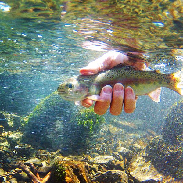 Underwater Rainbow Trout Release3.1.16