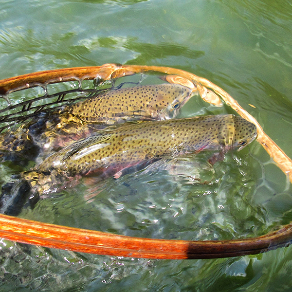 two nice rainbow trout in the net