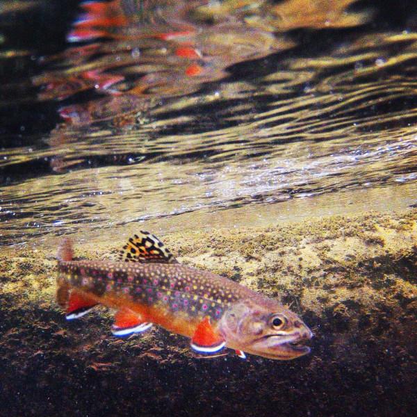 wild smoky mountain brook trout