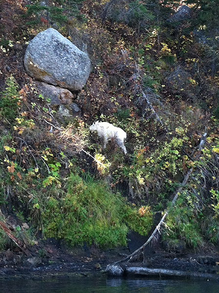 An exceptionally rare mountain goat seen from the boat in Box Canyon